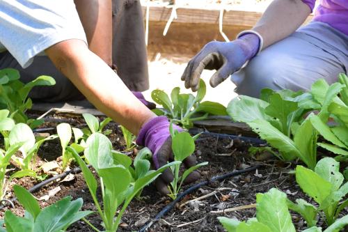 Teaching public to transplant seedlings