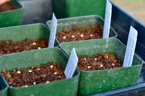 Pepper seeds in pots