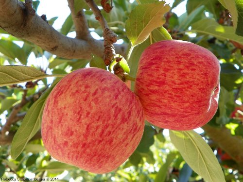 Apples in demo orchard